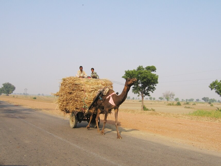 Camel Cart in Rajasthan