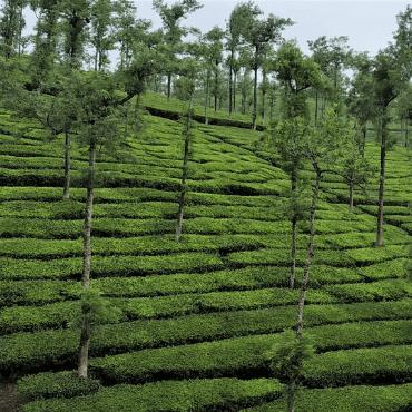 Tea plantation Thekkady Kerala