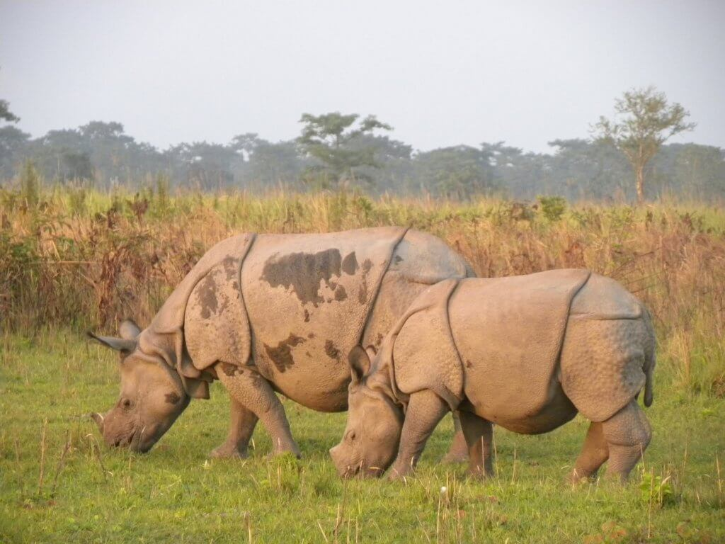 Indian Rhinoceros at The Manas National Park in Assam, India and is contiguous with the Royal Manas National Park in Bhutan