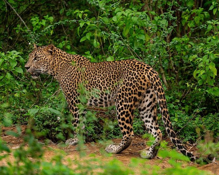 Leopard at Yala National Park Sri Lanka
