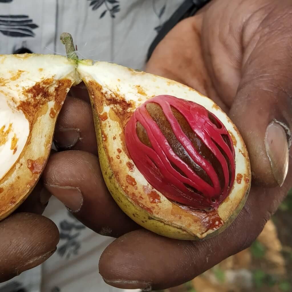 Spices Kerala Nutmeg Seed